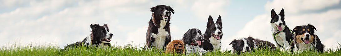 Barf & KVV (Hond)